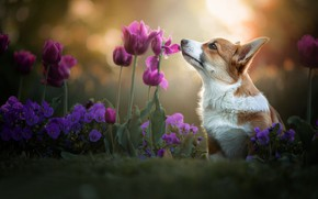 Picture flowers, dog, tulips, Pansy, bokeh, doggie, Welsh Corgi