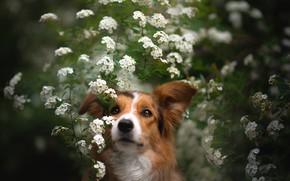 Picture look, face, portrait, dog, flowers