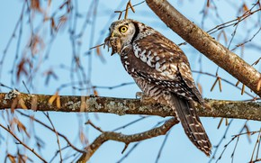 Picture look, leaves, branches, background, tree, blue, owl, bird, mouse, rat, mining, predator