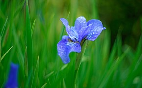 Picture greens, grass, drops, blue, nature, Rosa, background, blue, Bud, iris