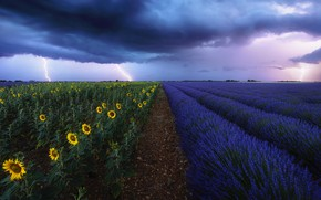 Picture the storm, field, sunflowers, clouds, lightning, France, lavender, Provence