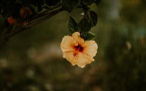 Picture flower, yellow, the dark background, branch, hibiscus