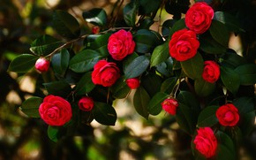 Picture leaves, flowers, branches, the dark background, bright, Bush, red, flowering, Camellia, Camellia