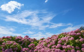 Picture the sky, the bushes, hydrangea