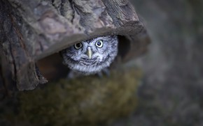 Picture nature, owl, bird, chick, the hollow, owlet