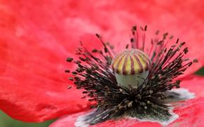 Picture flower, macro, red, Mac, Maki, petals, stamens