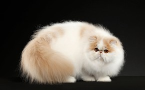 Picture cat, cat, look, pose, kitty, background, fluffy, muzzle, Studio, exotic
