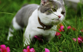 Picture greens, cat, summer, grass, cat, flowers, kitty, grey, garden, muzzle, collar, kitty, view, lawn, sniffing, …