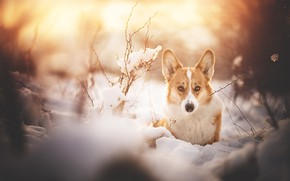 Picture winter, look, snow, branches, dog, Welsh Corgi