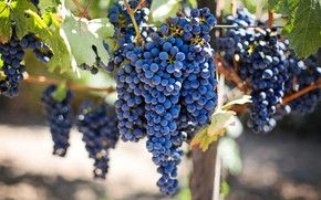 Picture leaves, blue, fruit, grapes, vineyard, bunches, hang