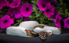 Picture flowers, snake, Python, Petunia