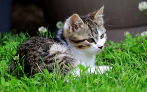 Picture cat, summer, grass, look, face, kitty, lies, clover, kitty, grey with white