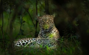 Picture forest, look, face, branches, leopard, bokeh