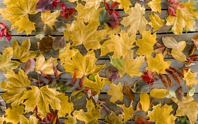 Picture autumn, leaves, background, tree, Board, colorful, maple, wood, background, autumn, leaves, autumn, maple