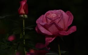 Picture flower, branches, the dark background, pink, rose, garden, Bud