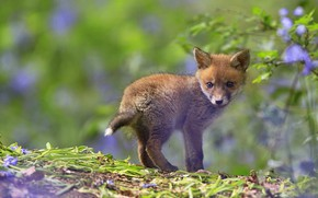 Picture look, leaves, flowers, nature, glade, small, Fox, green background, lilac, ponytail, bokeh, Fox, Fox