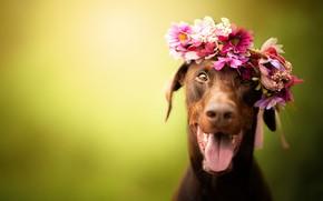 Picture language, look, face, joy, flowers, background, portrait, dog, wreath