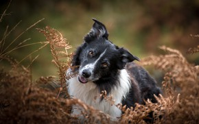 Picture face, nature, portrait, dog, fern, the border collie
