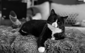 Picture cat, cat, stay, black and white, black, bed, lies, fur, laptop, plaid, the owner, monochrome, …