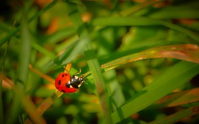 Picture macro, background, ladybug, beetle