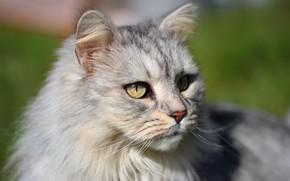 Picture cat, cat, look, face, light, portrait, grey, fluffy
