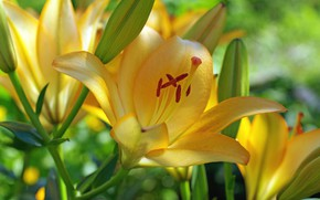 Picture flower, flowers, buds, yellow Lily