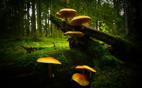 Picture forest, the dark background, mushrooms, family