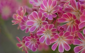 Picture macro, petals, Leviziya