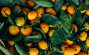 Picture leaves, fruit, a lot, tangerines