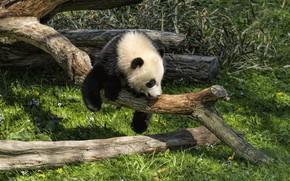 Picture grass, the sun, nature, pose, tree, Panda