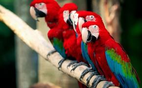 Picture birds, nature, parrots