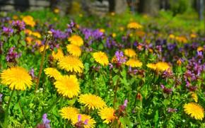 Wallpaper Glade, Flowers, dandelions, Flowers, Flowering, Flowering