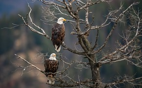Picture birds, branches, tree, pair, the eagles, two, bald eagle, bald eagles, two eagles