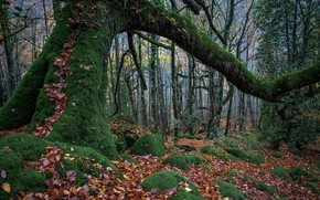Picture forest, tree, moss