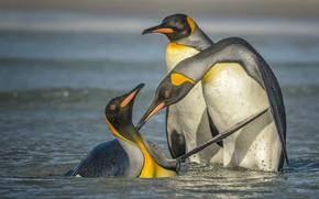 Wallpaper water, birds, penguins, bathing