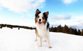 Picture winter, forest, clouds, snow, blue, dog, puppy, the border collie