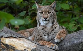 Picture look, face, portrait, paws, lies, log, lynx