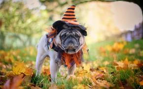 Picture autumn, nature, dog, pug, cap