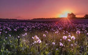 Picture the sun, sunset, flowers, Maki, the evening, a lot, lilac, poppy field