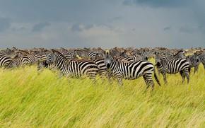 Picture Savannah, Africa, the herd, Zebra, Tanzania, Serengeti national Park