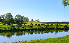 Picture greens, field, river, shore, spring, cows, pasture, meadow, pond, the herd, blue sky, a herd …