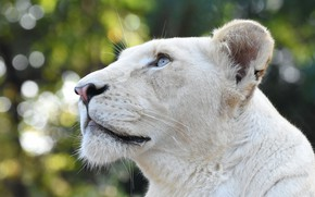Picture look, face, portrait, profile, white, blue eyes, lioness