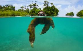 Picture mammal, Panama, the island of Escudo de Veraguas, pygmy sloth