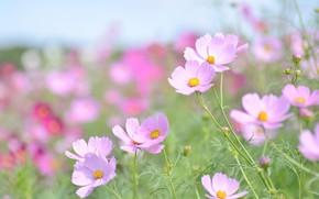 Picture macro, flowers, tenderness, pink, kosmeya