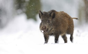Picture winter, snow, nature, background, the snow, walk, boar, snowfall, hog, pig, piggy