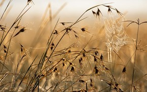 Picture field, grass, Rosa, web, morning, spikelets
