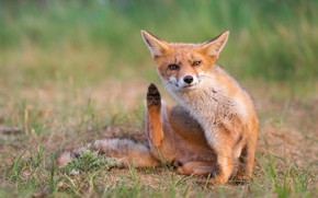 Picture grass, look, face, nature, pose, paws, Fox, red, sitting, Fox, Wiener