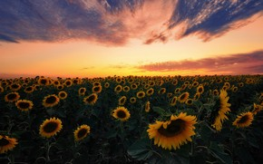 Picture field, summer, the sky, leaves, clouds, sunflowers, landscape, sunset, flowers, beauty, the evening, yellow, horizon, …