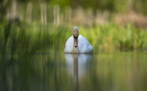 Picture lake, bird, Swan