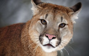 Picture look, face, background, portrait, wild cat, Puma, Cougar